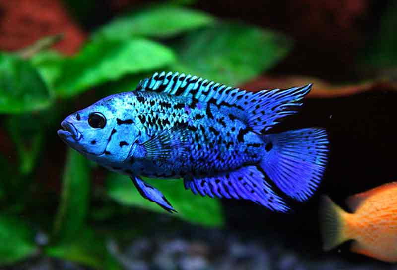 Ikan Electric Blue Jack Dempsey